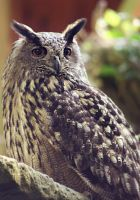 eagle owl by cloe-patra