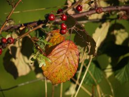 Wild Berries by Graphitation