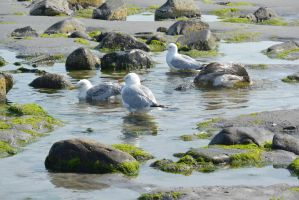 Seagulls, Salt Water Bath 48 by Miss-Tbones