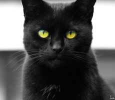BLACK CAT by June-Photographie