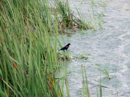 Red-Winged Blackbird by Austron