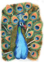 Peacock colour by Sydia