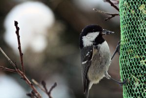 coal tit having lunch by AlleyCat91