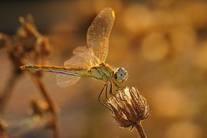 dragonfly 3 by gencugur