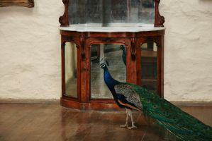 Montsalvat peacock 1 by Dewfooter