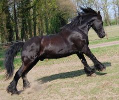 galloping friesian by Esveeka-Stock