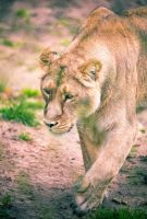 Prowling Lioness by bexa