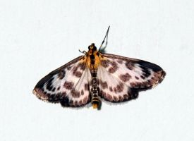 Small Magpie Moth by MadDan