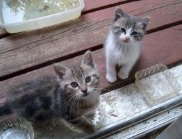 White and thick striped gray kittens by Ripplin