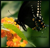 Black Butterfly by mariquasunbird1