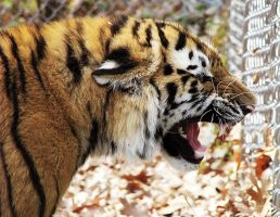 Amur Tiger Stock 16: Snarling Cub by HOTNStock