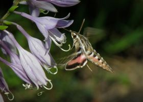 White-lined Sphinx Moth #3 by JED1948
