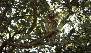 Beauty Long-eared Owl by Danimatie