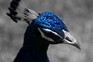 Peacock Blue by DeviantTeddine