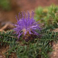 Purple Thistle by alban-expressed