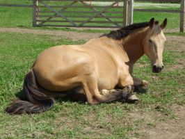 Flye Lying Down - 4 by EquinePhotoandStock
