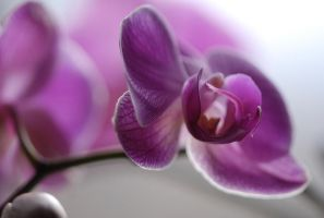 orchid - Paulinum 2 by narabia
