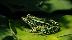 Leopard Frog by RollingFishays