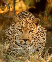 Leopard about to pounce by alecd