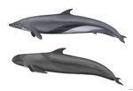 Cetacean Comparative Illustration by LlamaTHEDragon