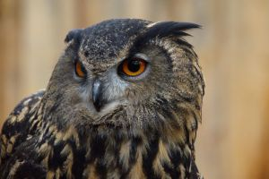 Eagle Owl by amzimme