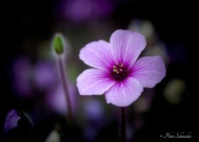 Violet. by Phototubby