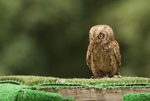 Scops Owl by jpgmn