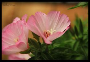 Pink Godezia 2 by ShlomitMessica
