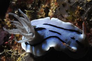 sea slug 2 by carettacaretta