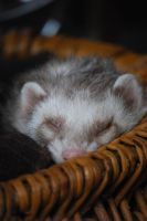 Sleeping Ferret by RowanLewgalon