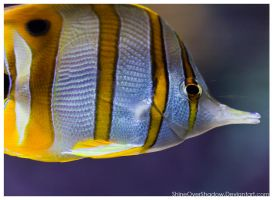 Copper Banded Angelfish 001 by ShineOverShadow