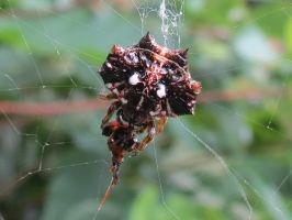 A Taiwanese Spider - species unidentified by Oddity-1991