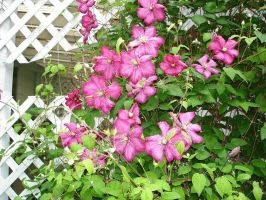 Clematis 2 by racehorse87-stock