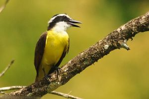Great Kiskadee by robbobert