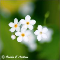 White forget-me-nots II by CecilyAndreuArtwork
