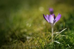 Crocus by PassionAndTheCamera
