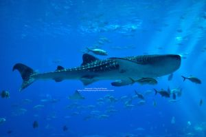Whale Shark by 8TwilightAngel8