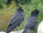 Two Ravens On A Log by wolfwings1