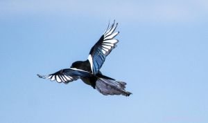 Flying Magpie by Kaptive8