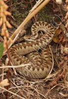 Adder by Amazonofexeter