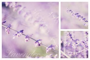 lavender by Laura1995