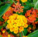Orange Lantana by MissSpocks
