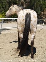Appaloosa 03 by dappledstock
