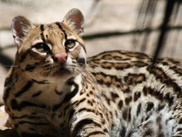Ocelot by Lightningflickr