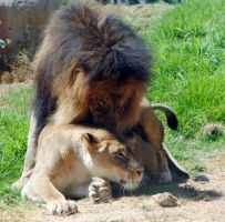 Lions mating 3 by fosspathei