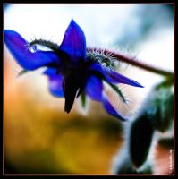 creature feature 'common borage' by EvaShoots