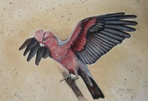 The Flaming Galah by JoanneBarby
