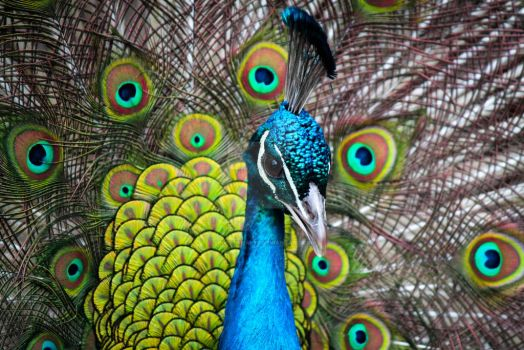 Mastering Seduction - Indian Peacock by Spirit-whales