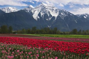 Agassiz Tulips by jasonwilde