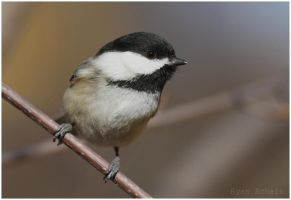 Perched Black-capped Chickadee by Ryser915